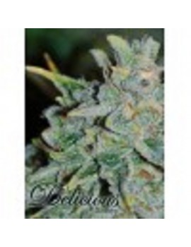 Delicious Seeds - Auto Northern Light Blue - Feminized 5