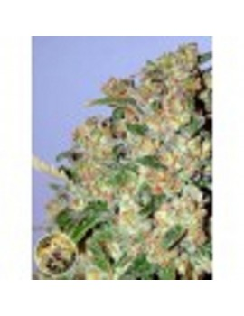 Advanced Seeds - Critical - Feminized 1
