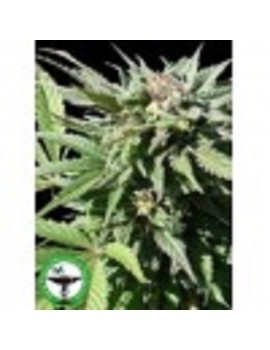 Finest Medicinal Seeds Medifem SS - Feminized 5