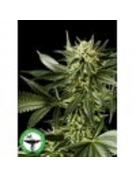Finest Medicinal Seeds White Widow - Feminized 5