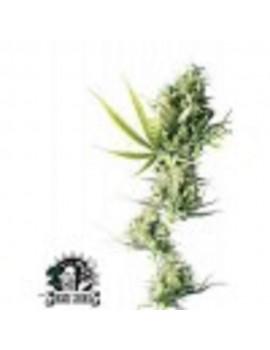 Sensi seeds Durban - Regular 10