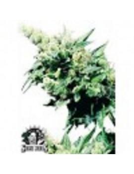 Sensi Seeds Hash Plant - Regular 10