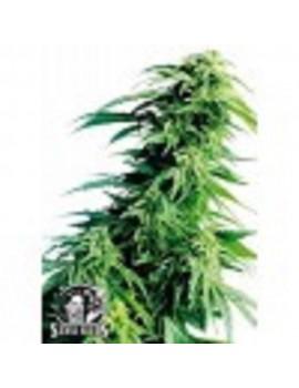 Sensi Seeds Hindu Kush - Regular 10