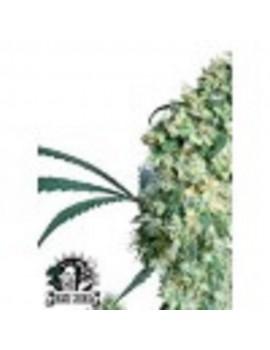Sensi Seeds Ed Rosenthal Superbud - Regular 10