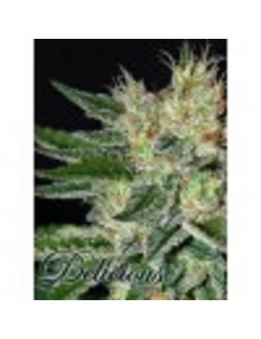 Delicious Seeds - Sugar Black Rose - Feminized 5