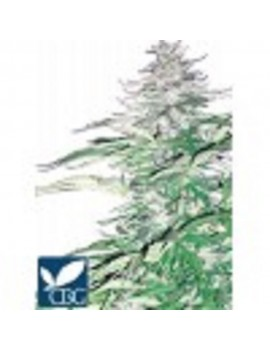 CannaBiogen - Sugar Loaf - Feminized 5