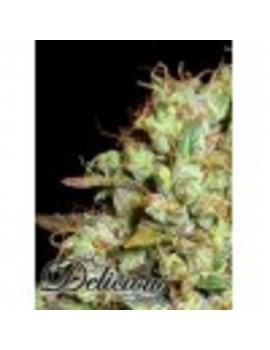 Delicious Seeds - Critical Super Silver Haze - Feminized 5