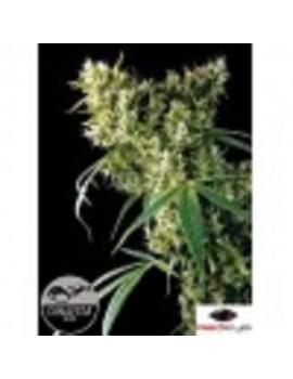 Dinafem Seeds - Super Silver Haze - Feminized 3