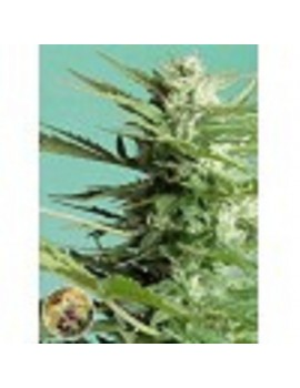 Advanced Seeds - Sweet Dwarf - Feminized 1