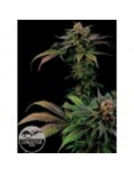 Dinafem Seeds - Blue Widow - Feminized 5