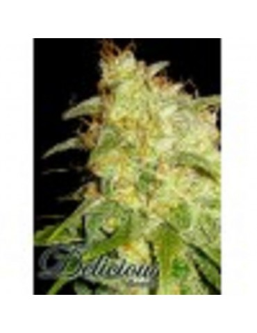 Delicious Seeds - Critical Yumbolt - Feminized 5